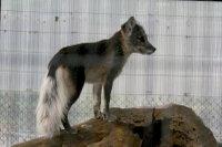 Arctic_fox16