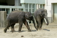 Asian_elephant