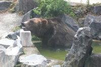 Brown_bear05
