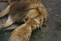 Lions12