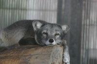 Arctic_fox19