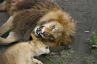 Lions13