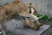 Lions16