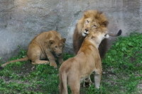 Lions18
