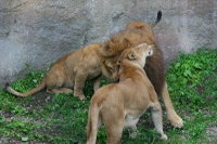 Lions19