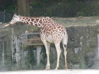 Giraffe04
