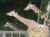 Giraffe05_2