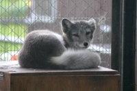 Arctic_fox20