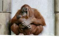 Orangutan02