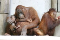 Orangutan03