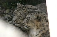 Snowleopard03