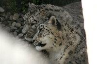 Snowleopard04