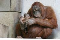 Orangutan04
