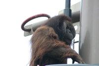 Orangutan05