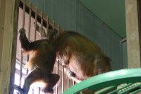 Orangutan06
