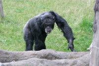 Chimpanzee04