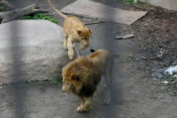 Lions22