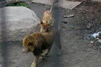 Lions23