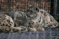 Snowleopard06