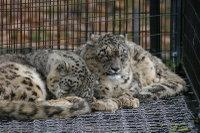 Snowleopard07