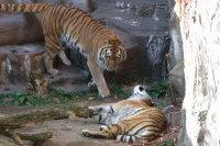 Tigers05