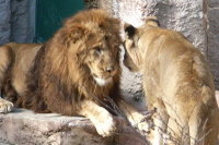 Lions24