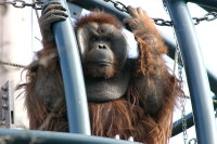 Orangutan08