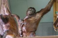 Orangutan09