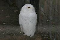 Snowy_owl02