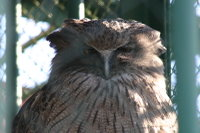 Blakistons_fish_owl02