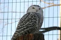 Snowy_owl03