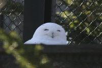 Snowy_owl04