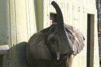African_elephant01