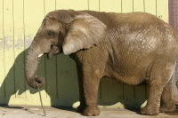 African_elephant02