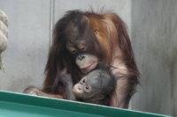 Orangutan11