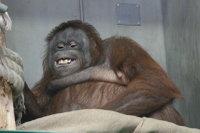 Orangutan12