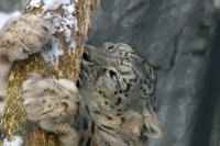 Snowleopard08