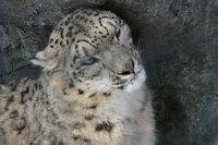 Snowleopard09