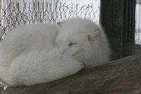Arctic_fox21