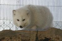 Arctic_fox23