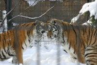Tigers08