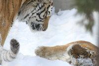 Tigers09