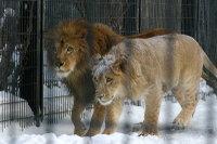 Lions26