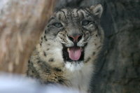 Snowleopard10