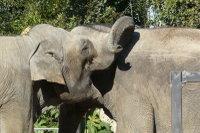 Asian_elephant02