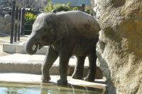 Asian_elephant03