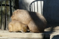 Capybara05