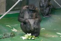 Chimpanzee06