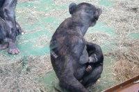 Chimpanzee_baby02
