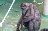 Chimpanzee_baby03